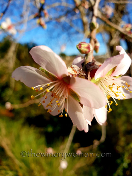 almond_blossoms9_1.6.19_tww