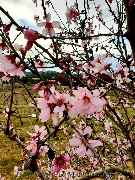 almond_blossoms_1.31.19_tww