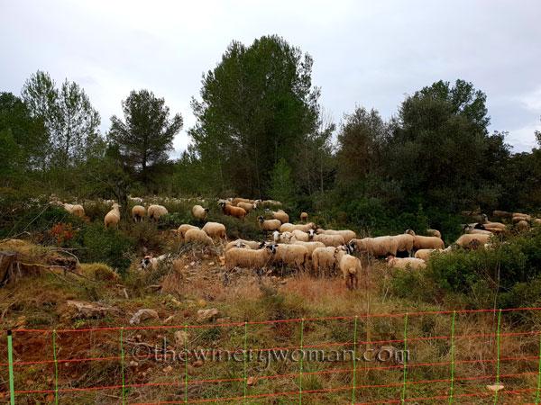 sheep_vineyard10_1.31.19_tww