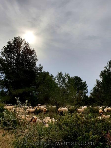 sheep_vineyard11_1.31.19_tww