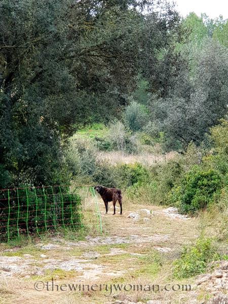 sheep_vineyard18_1.31.19_tww