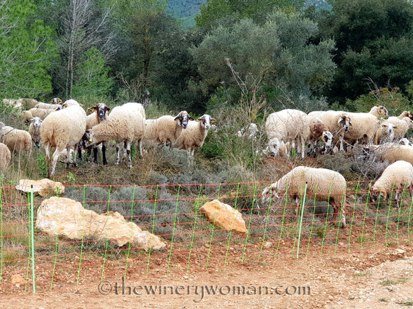 sheep_vineyard3_1.31.19_tww