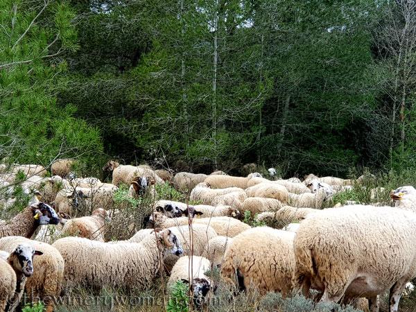 sheep_vineyard5_1.31.19_tww