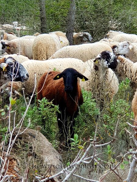 sheep_vineyard8_1.31.19_tww