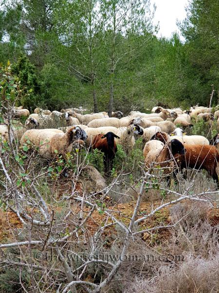 sheep_vineyard9_1.31.19_tww