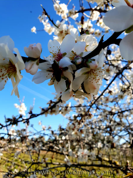 Almond_Blossoms10_2.12.19_TWW
