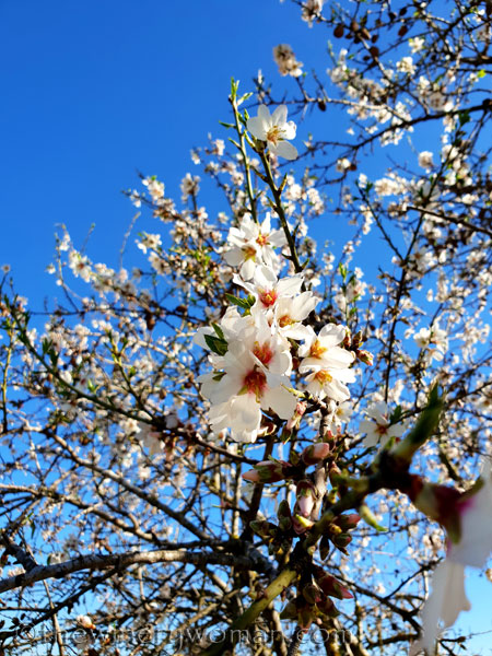Almond_Blossoms2_2.12.19_TWW