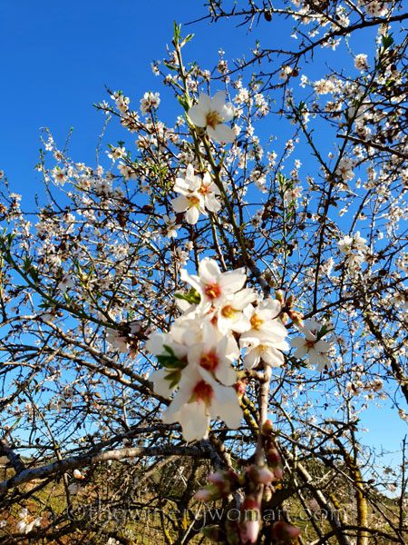 Almond_Blossoms3_2.12.19_TWW