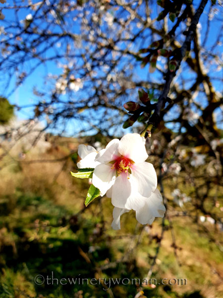 Almond_Blossoms4_2.12.19_TWW