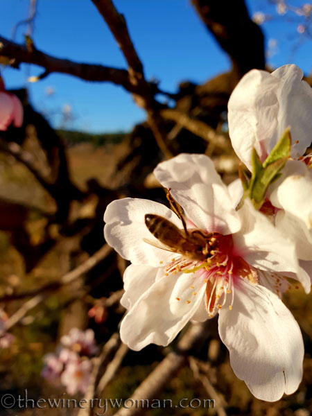 Almond_Blossoms4_2.15.19_TWW