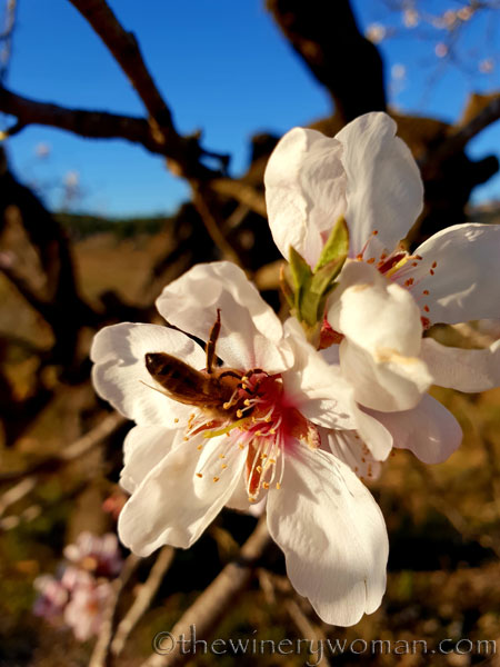 Almond_Blossoms5_2.15.19_TWW