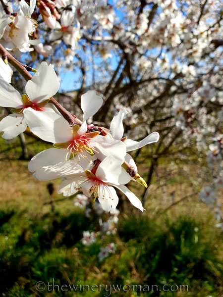 Almond_Blossoms6_2.12.19_TWW