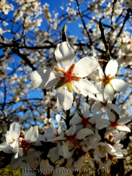 Almond_Blossoms8_2.12.19_TWW