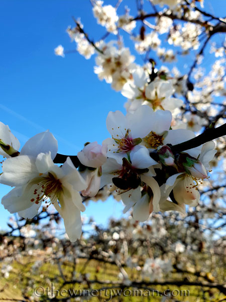 Almond_Blossoms9_2.12.19_TWW
