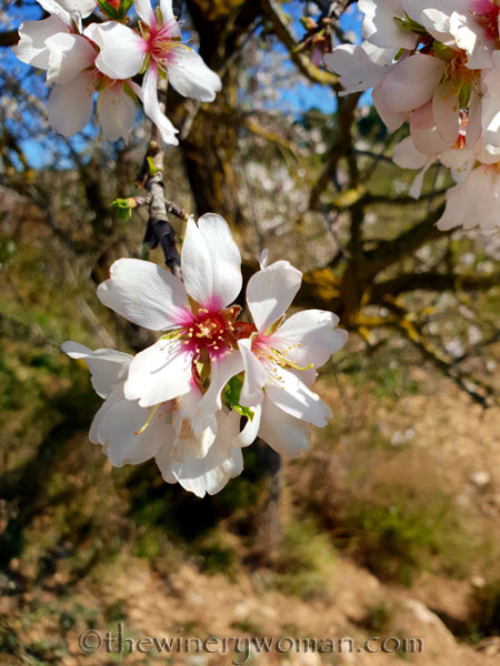 Almond_Blossoms_2.12.19_TWW