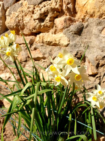 Daffodils_Spring_2.25.19_TWW
