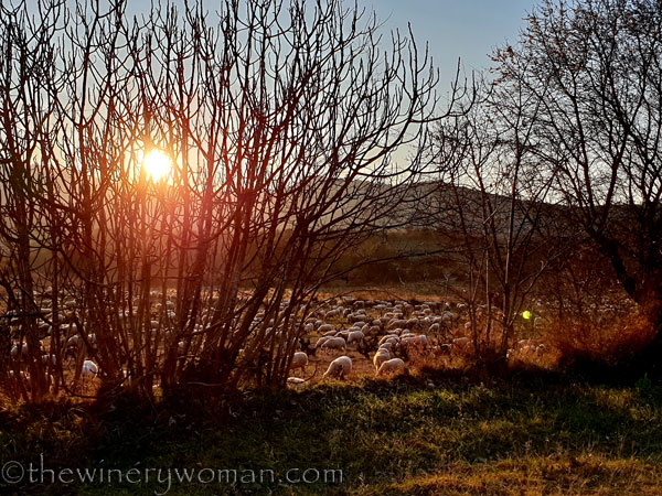 Sheep_in_the_vineyard16_2.6.19.TWW