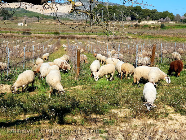 Sheep_in_the_vineyard3_2.6.19.TWW