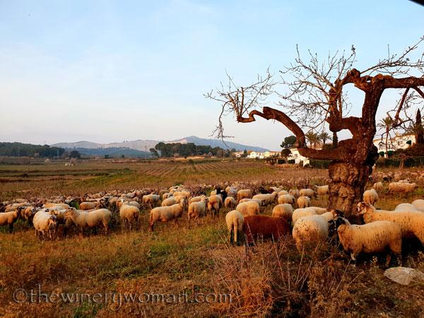 Sheep_in_the_vineyard3_2.9.19_TWW