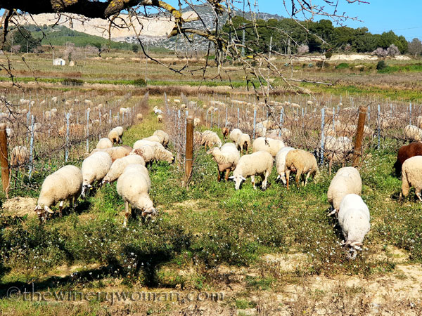 Sheep_in_the_vineyard4_2.6.19.TWW