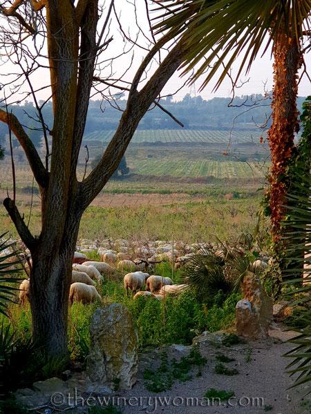 Sheep_in_the_vineyard4_2.9.19_TWW