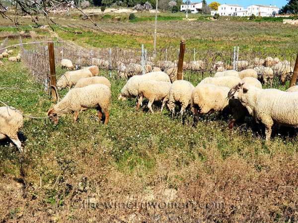 Sheep_in_the_vineyard5_2.6.19.TWW
