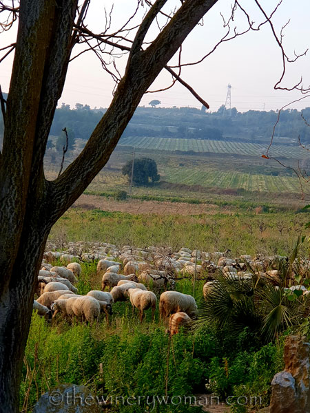 Sheep_in_the_vineyard5_2.9.19_TWW