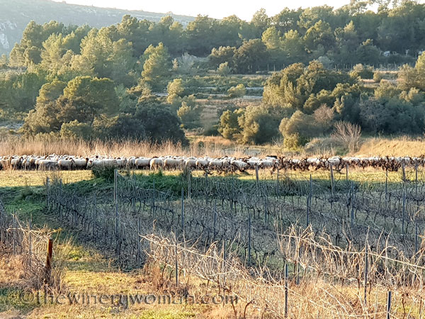 Sheep_in_the_vineyard8_2.6.19.TWW