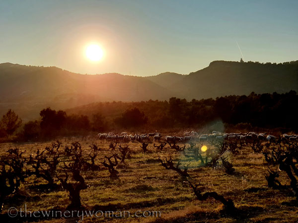 Sheep_in_the_vineyard9_2.6.19.TWW
