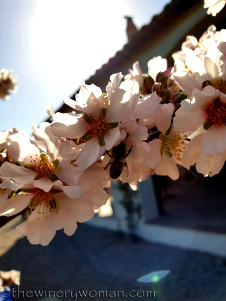 Almond_Blossoms_and_Bees3_3.5.19_TWW