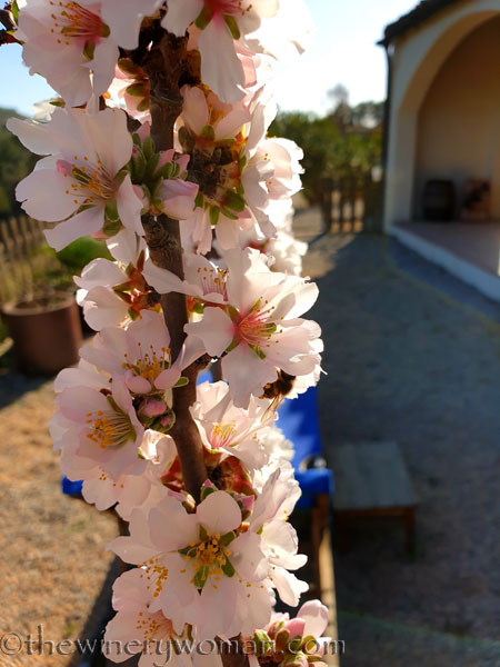 Almond_Blossoms_and_Bees5_3.5.19_TWW