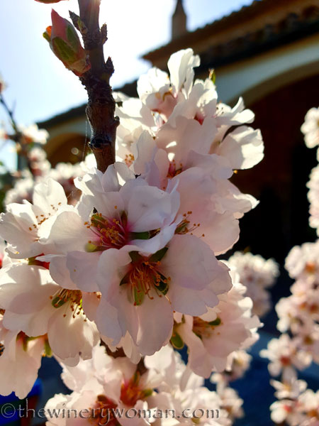 Almond_Blossoms_and_Bees6_3.5.19_TWW
