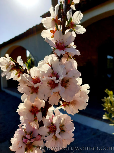Almond_Blossoms_and_Bees7_3.5.19_TWW