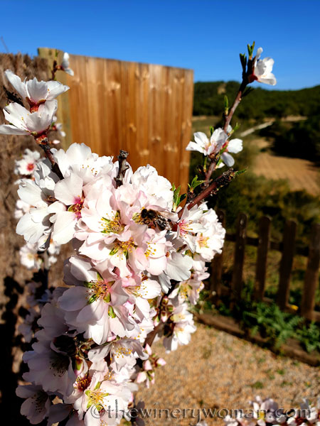 Almond_Blossoms_and_Bees_3.5.19_TWW