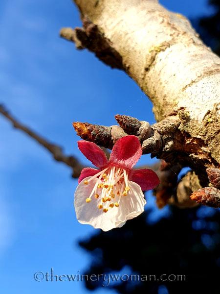 Apricots_Spring2_3.16.19_TWW