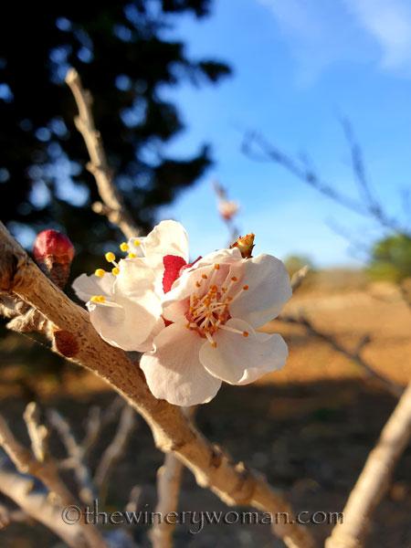 Apricots_Spring_3.16.19_TWW