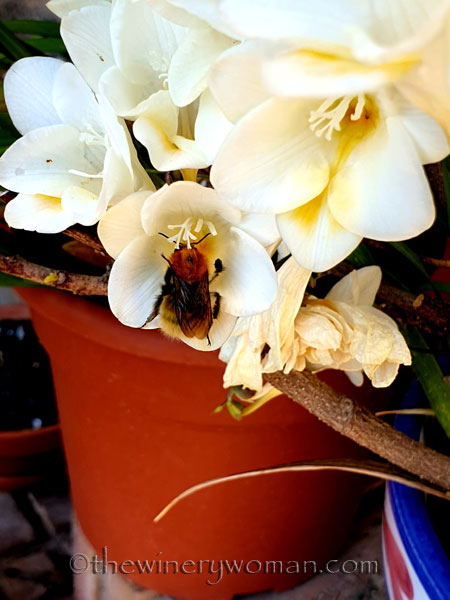 Freesias_Spring3_3.16.19_TWW
