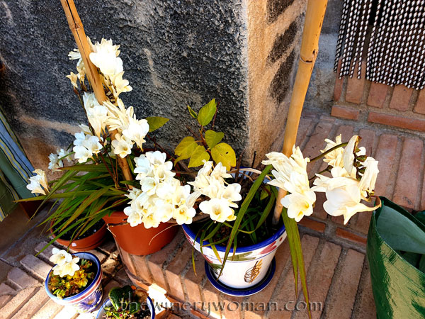 Freesias_Spring_3.16.19_TWW
