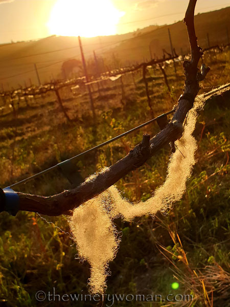 Wisps_of_wool_in_the_vineyard3_3.13.19_TWW