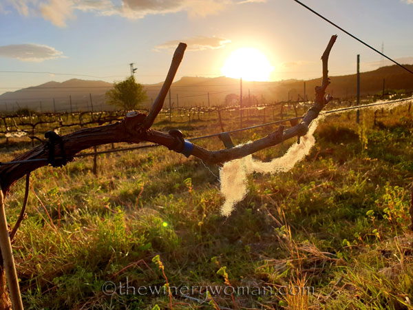 Wisps_of_wool_in_the_vineyard6_3.13.19_TWW