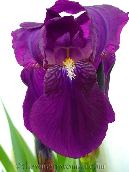 Irises12_4.13.19_TWW