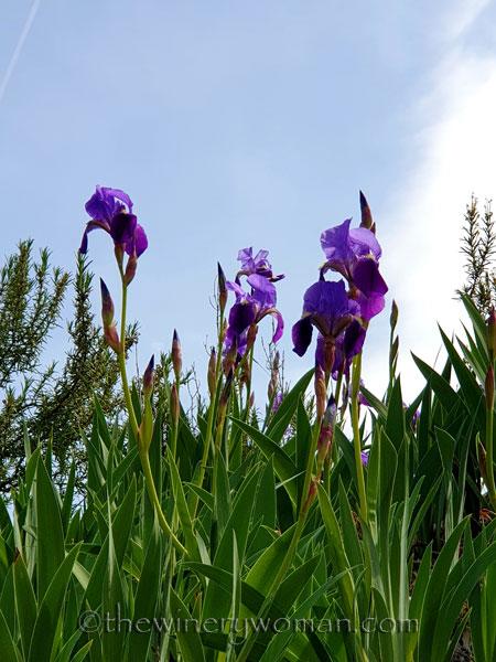 Irises3_4.14.19_TWW