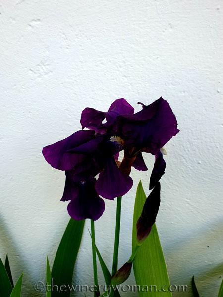 Irises4_4.13.19_TWW