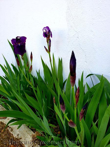 Irises5_4.13.19_TWW