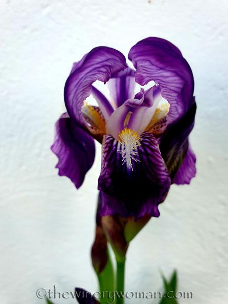 Irises9_4.13.19_TWW