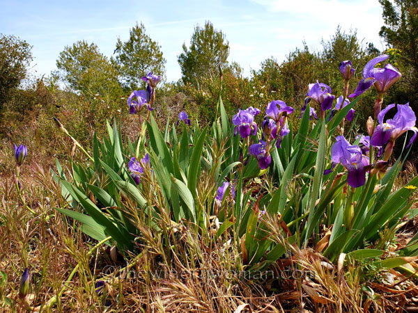 Irises_4.14.19_TWW