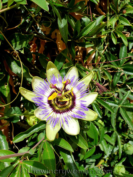 Passion_Flower2_4.19.19_TWW