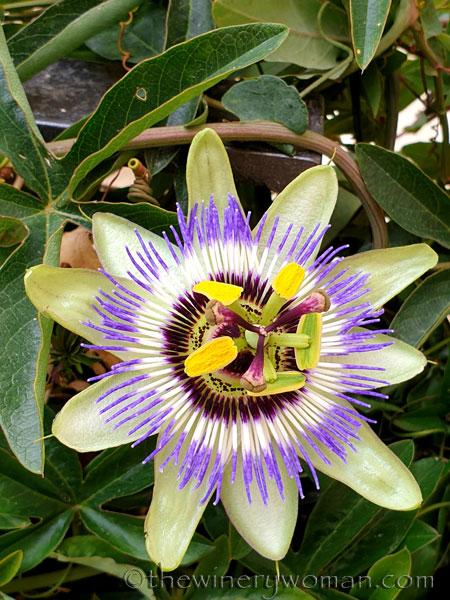 Passion_Flower3_4.19.19_TWW