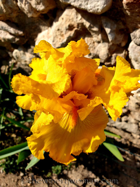 Yellow_Iris2_4.16.19_TWW