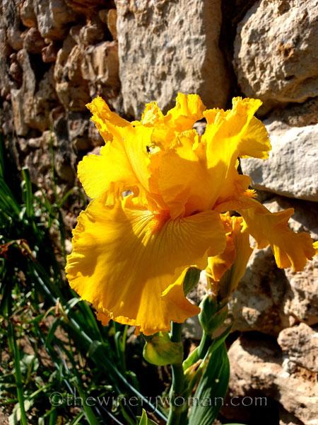 Yellow_Iris3_4.16.19_TWW